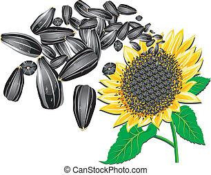 Sunflower and seeds - Sunflower seeds and beautiful flower...