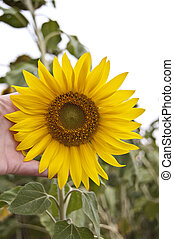 sunflower background for different concepts, health, agriculture, ecology