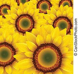 Sunflower background - Sunflower field as summer background,...