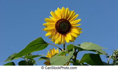 sunflower beautiful blossom on sky
