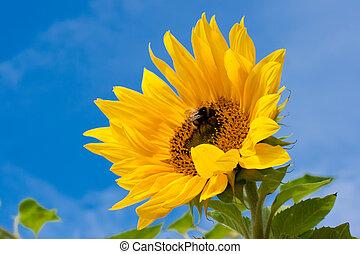 Sunflower - Beautiful close-up photo of big yellow sunflower