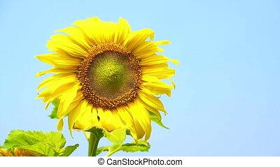 sunflower bloom blue sky background
