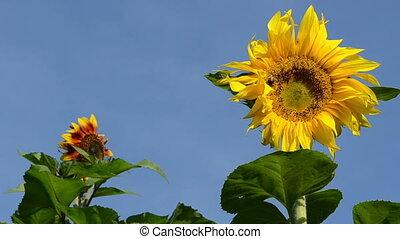 sunflower bloom bumblebee