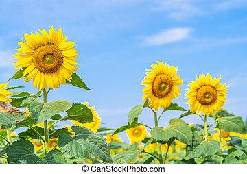 Sunflower blooming in field