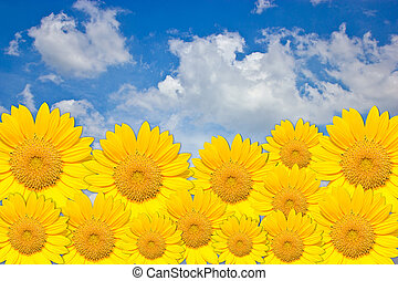 Sunflower border on blue sky backgr