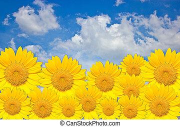 Sunflower border on blue sky backgr