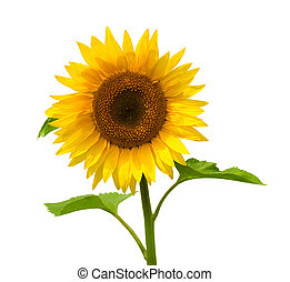 Sunflower - Bright sunflower isolated on a white background