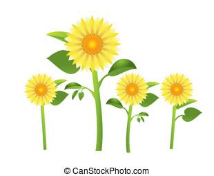 sunflower - Vector illustration of yellow sunflower