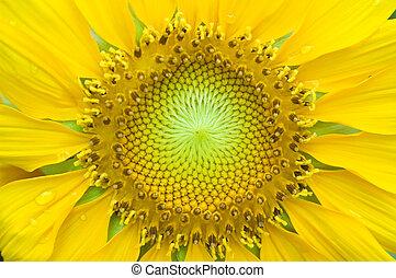 Sunflower Close-up - A close-up of a new sunflower