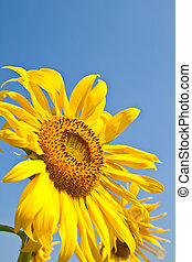 Sunflower close up and the blue sky