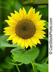 Sunflower - Close-up details of a sunflower