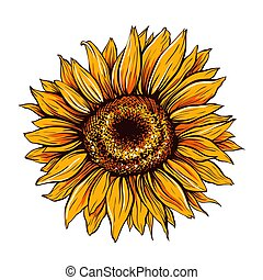 Sunflower close up hand drawn vector illustration