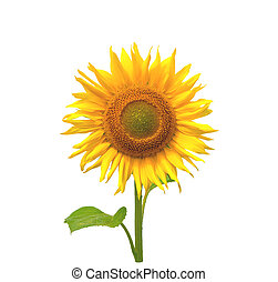 Sunflower. Close-up. Isolated