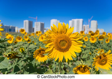 sunflower close up with be in front of a building on the background of clear sky