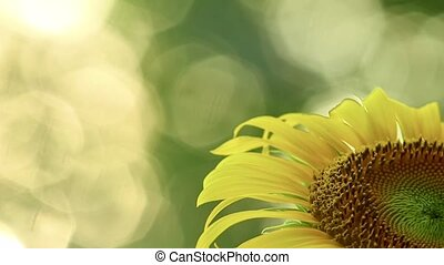 Sunflower Close Up With Room For Text And Glistening Sunlit ...