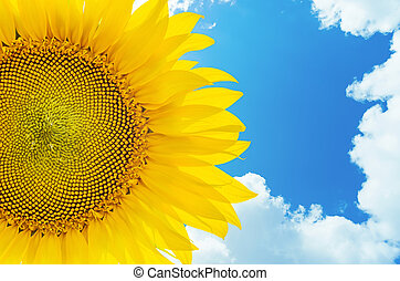 sunflower closeup and blue sky with clouds on background
