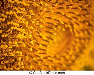 Sunflower closeup background