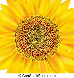 Sunflower Closeup - Sunflower, Isolated On White Background,...