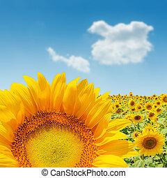 sunflower closeup on field. soft focus