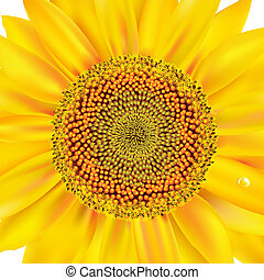 Sunflower, Isolated On White Background, Vector Illustration