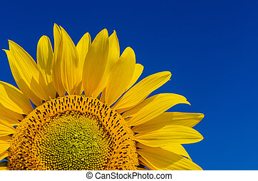 sunflower cloweup on deep blue sky background