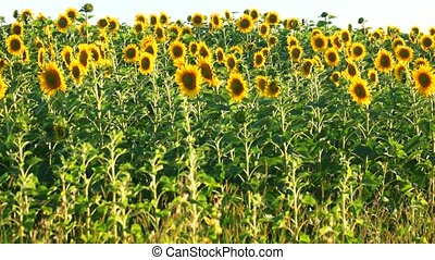 Sunflower crop. Harvest of flowers on the field.