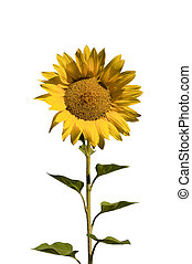 sunflower cut out - one beautifull sunflower with stem and ...