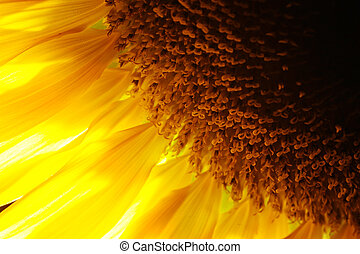 Sunflower detail close-up. Backlit, macro. Shallow DOF