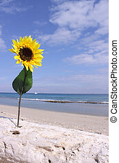 Sunflower Driftwood Beach - This is a shot of a sunflower...