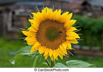 Sunflower during summer
