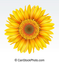 Sunflower - Yellow sunflower on the  white background. Mesh.