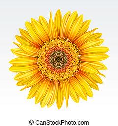 Sunflower - Yellow sunflower on the  white background. Mesh.