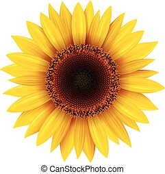Sunflower isolated,