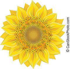 Sunflower over white. Vector illustration, EPS 8, AI, JPEG