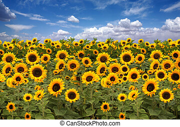 Sunflower Farmland With Blue Cloudy Sky - Farmland Field of...