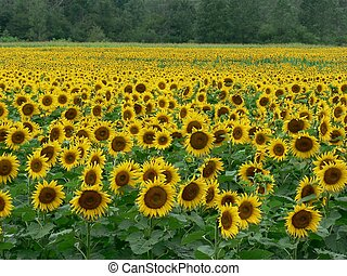 Sunflower Field 1