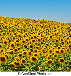 Sunflower Field - A field of sunflowers, in the south of...