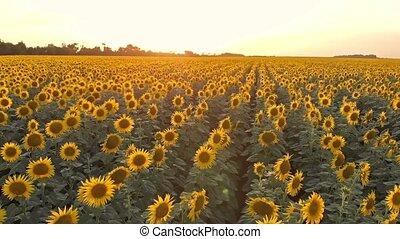 Sunflower field aerial view