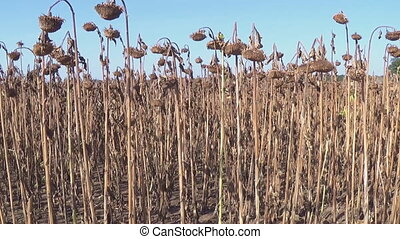 Sunflower field affected by drought