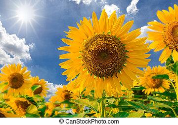 Sunflower field against blue sky and sun light