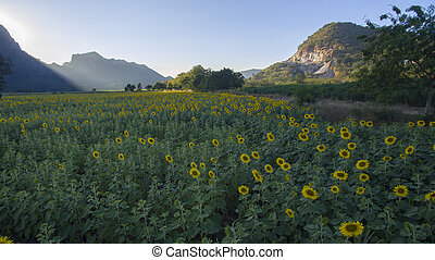 sunflower field and agriculture area in lopburi thailand