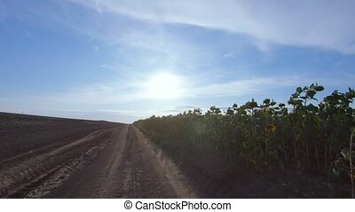 Sunflower field and rural road