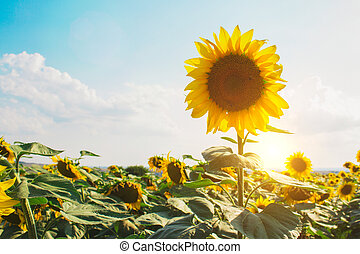Sunflower field as natural background with copyspace. Beautiful sunflower against blue sky with shiny sun. Agricultural and harvesting concept