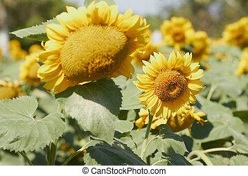 Sunflower field at bright summer day