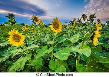 Sunflower field at sunset in Jarrettsville, Maryland.