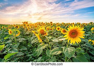Sunflower field at sunset under dramatic sky