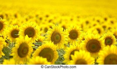 Sunflower field, backlit. - Field of sunflowers backlit....