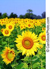 Sunflower field - Blooming field of yellow sunflowers in ...