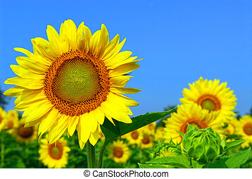 Sunflower field - Blooming sunflower field with big...