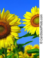 Sunflower field - Close up on sunflowers in blooming ...